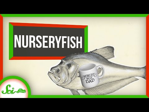 Nurseryfish Dads Give Their Young a Headstart… Literally