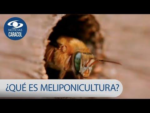¿Qué es la Meliponicultura? técnica de campesinos en Colombia para salvar a las abejas y los bosques
