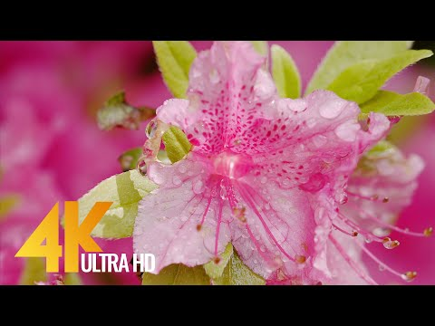 4K UHD Watering Backyard Flowers - Short Preview Video