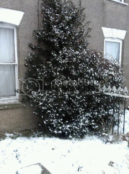 Our front garden - Holly Tree