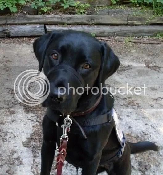 Emmy - Mobility Dog Extrordinaire!