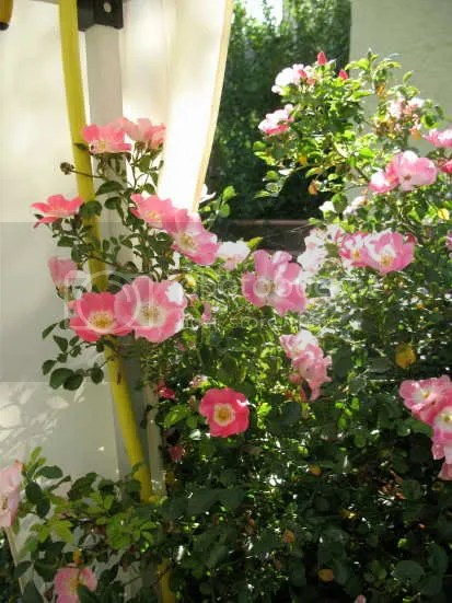 Impatient shrub rose like inside best