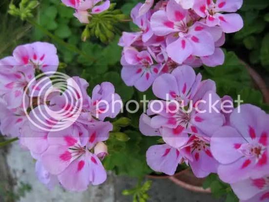 Lively geranium