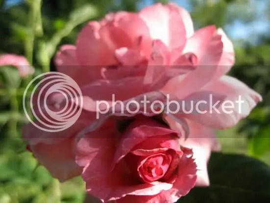 luna di miele rose