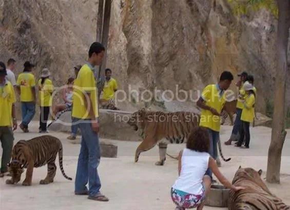 harimau-harimau di biara thailand