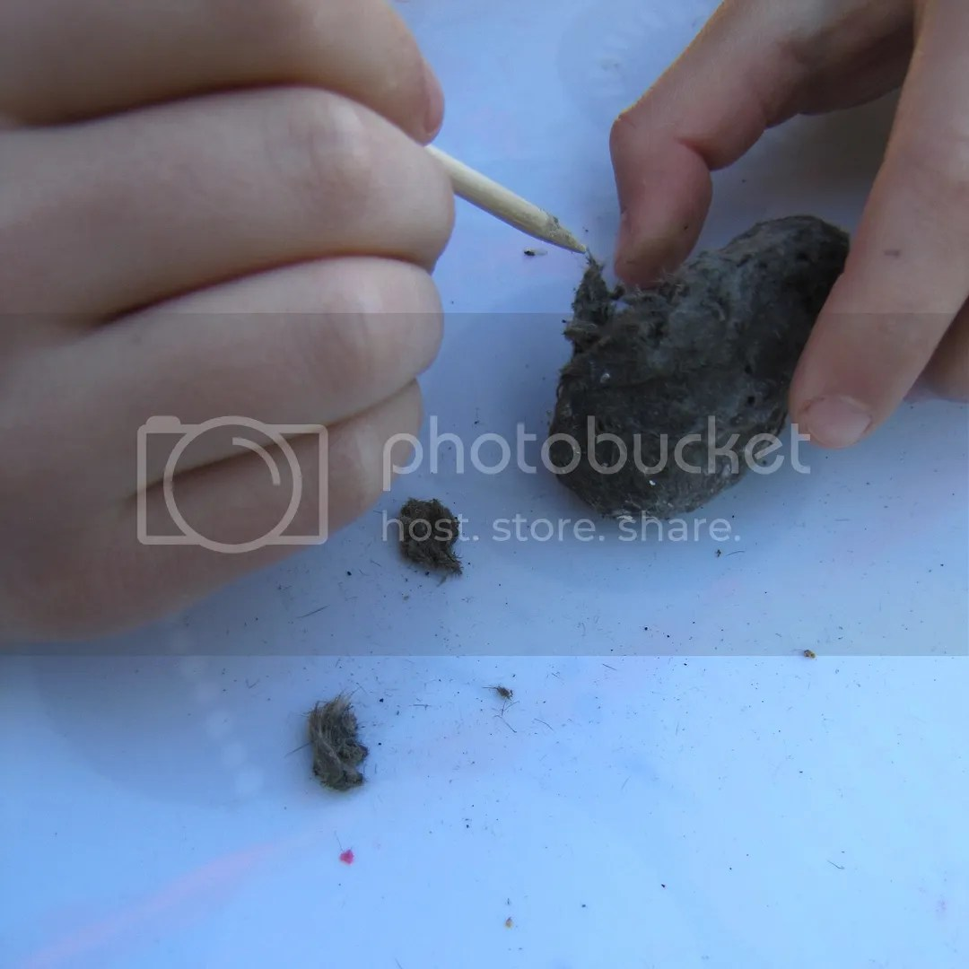 In Tutes Owl Pellet Dissection Inital Explorations