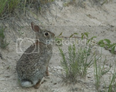 rabbit trail photo: Eastern Cottontail Cottontail_SJH_6417.jpg
