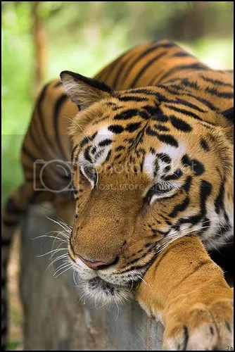 sleepy tiger, tiger tired, tiger fasting, harimau berpuasa,