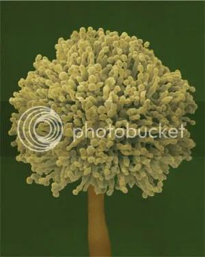 Mold Spore