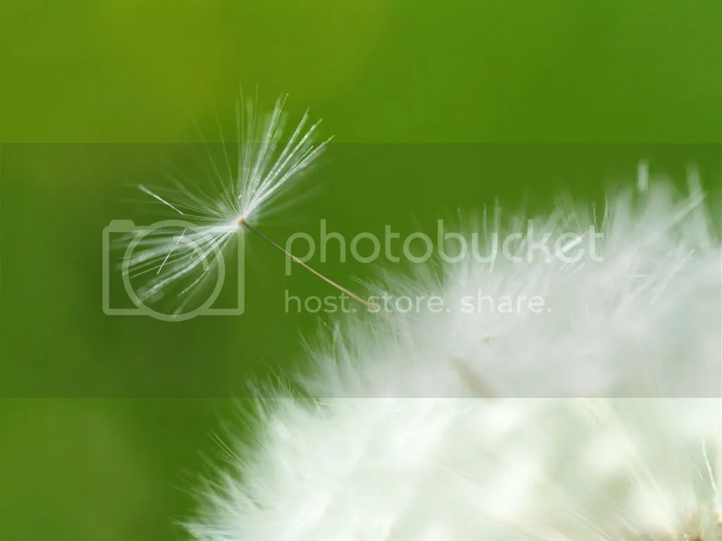 Dandelion Pictures, Images and Photos