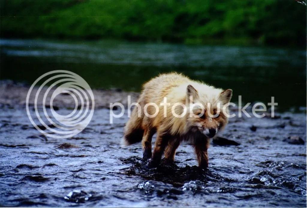 Kodiak rod stealing fox