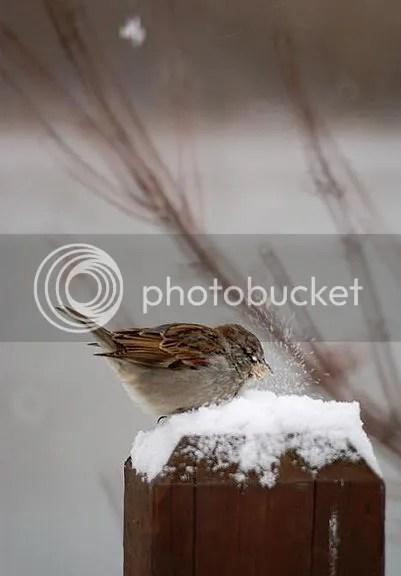 snowbird.jpg picture by gelpisipisi
