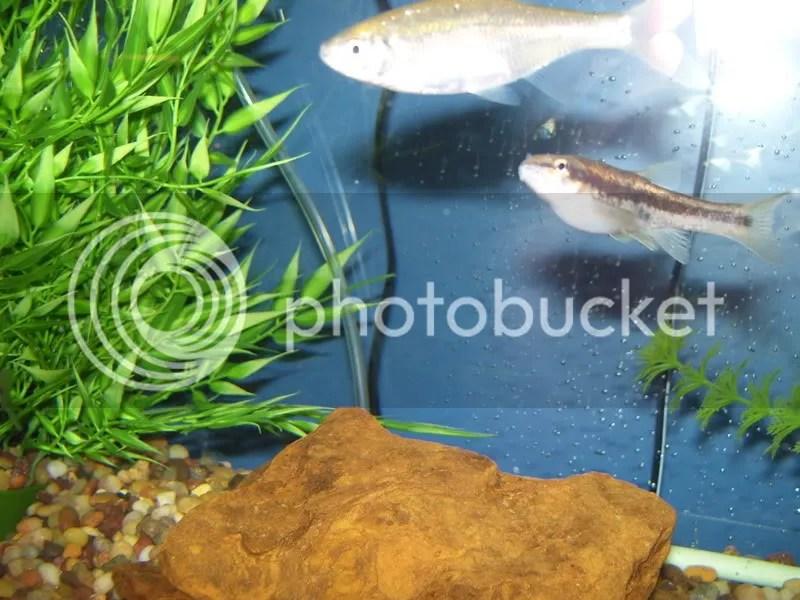 Shrimp Freshwater Petco