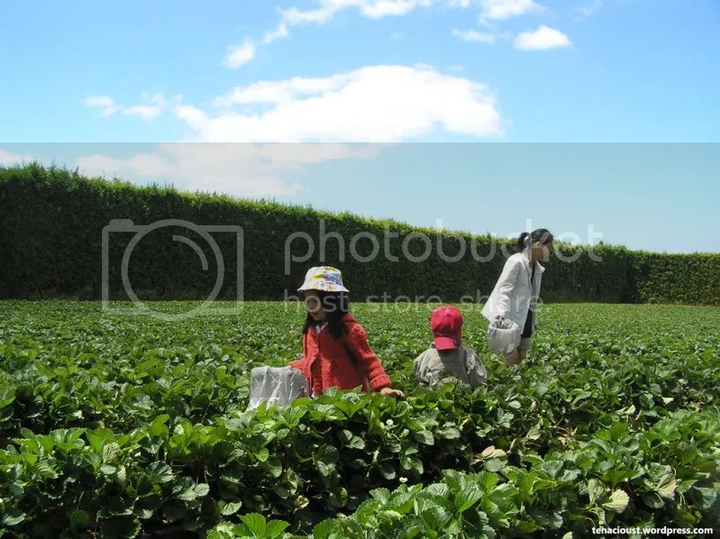 Family at the Strawberry Orchard