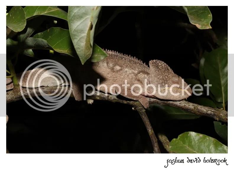 Exotic South Florida Part III: The Oustalet's Chameleon (Furcifer ...