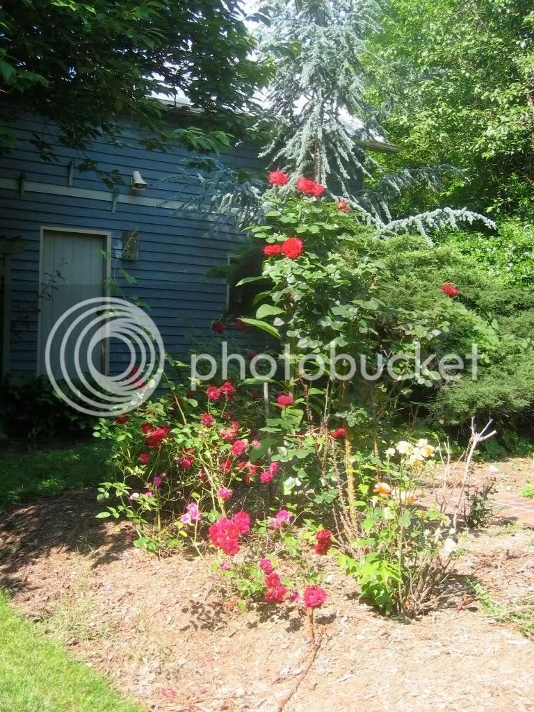 backyard rose bonanza