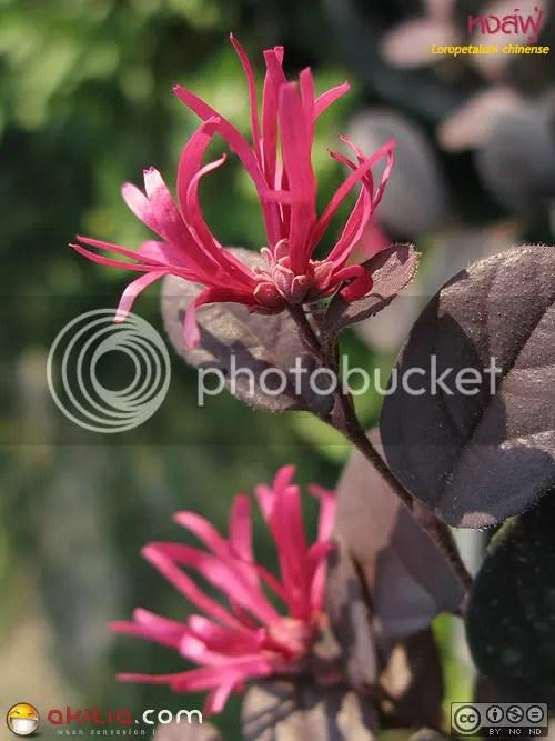 หงส์ฟู่, 紅繼木, ไม้มงคล, ต้นไม้สีแดง, Loropetalum chinense, Chinese Witch Hazel, Rubrum, ต้นไม้, ดอกไม้, การปลูก