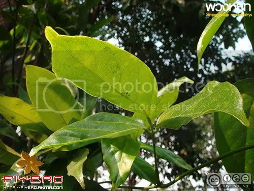 พวงหยก, Strongylodon macrobotrys, ไม้เลื้อย, ไม้แปลก, ไม้หายาก, ไม้เถา, ดอกสีเขียว, ตระกูลถั่ว, Jade Vine, Emerald Climber
