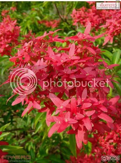 เข็มดาวาว, เข็มดาววาว, เข็มรูเบีย, เข็มรูเปีย, Carphalea kirondron, Flaming Beauty, ดอกไม้สีแดง, ไม้แปลก, ไม้หายาก, ช่อดอกไม้, ต้นไม้, ดอกไม้, akitia.com