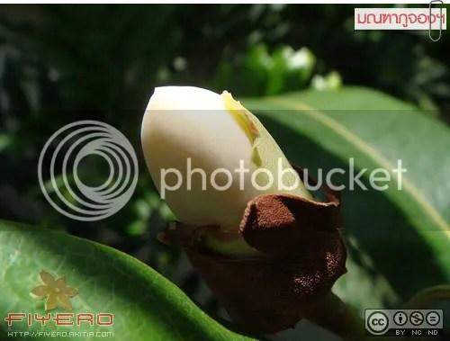 มณฑาภูจอง, มณฑาพันธุ์อีสานใต้, มณฑาภูจองนายอย, แมกโนเลีย, ต้นไม้หายาก, อากาศร้อน, ดอกไหม้, Magnolia, ต้นไม้, ดอกไม้, akitia.com