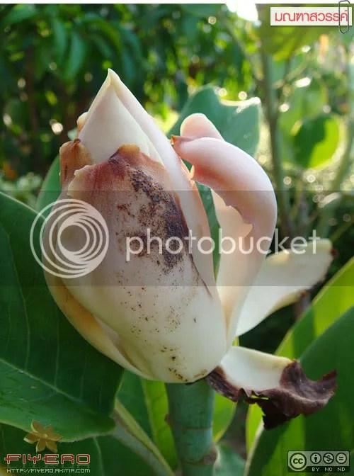 มณฑาสวรรค์, Magnolia delavayi, แมกโนเลีย, ต้นไม้หายาก, อากาศร้อน, ดอกไหม้, Magnolia, ต้นไม้, ดอกไม้, akitia.com