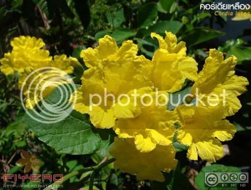 คอร์เดียเหลือง, Cordia lutea, ต้นไม้, ดอกไม้, akitia.com