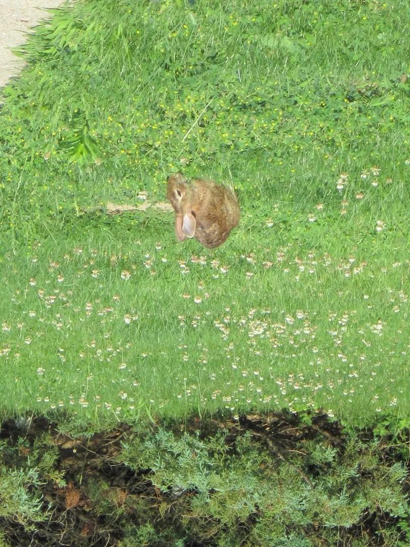 bunny rabbit, Pennsylvania