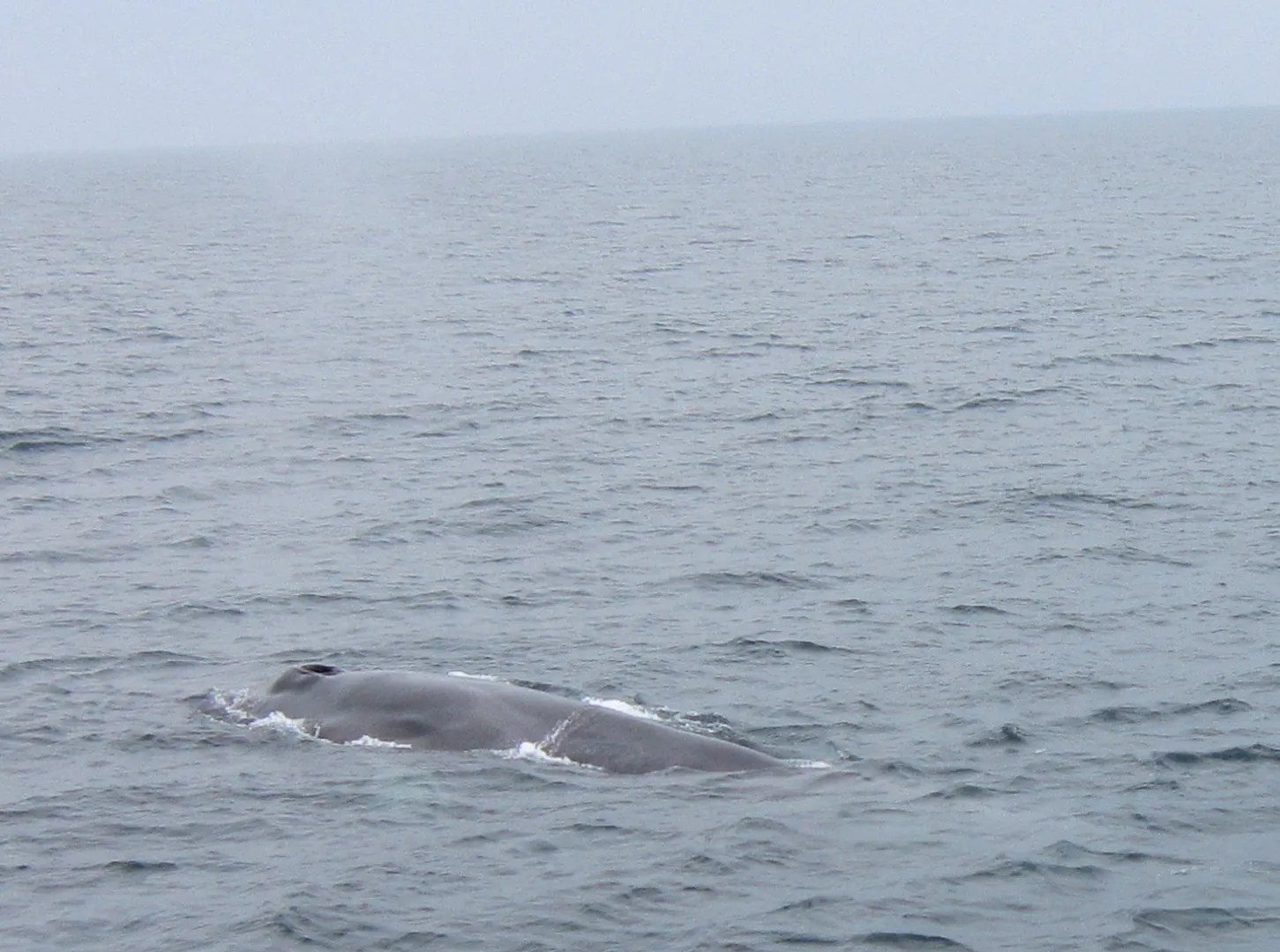 whale back, Cape Cod