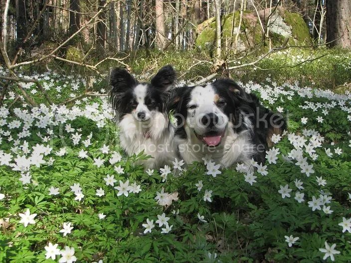 Fina hundar bland fina blommor!