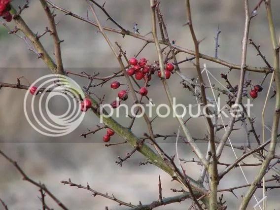 Vackra röda bär