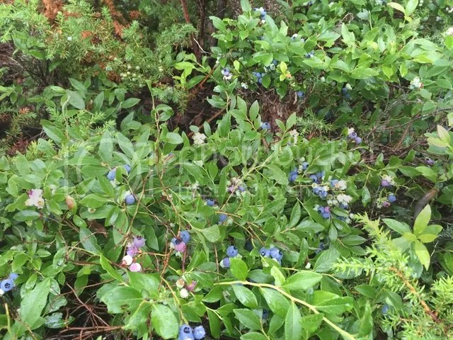 photo Blueberries_zpsq2e9govh.jpg