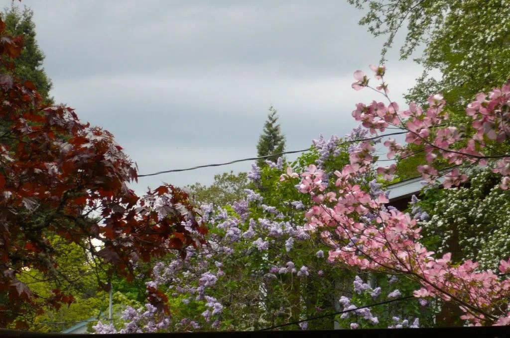 Maple, Lilac, Dogwood