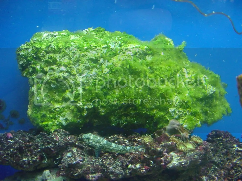 Removing Algae Rocks Aquarium