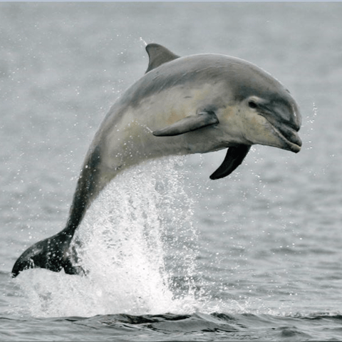 A leaping dolphin
