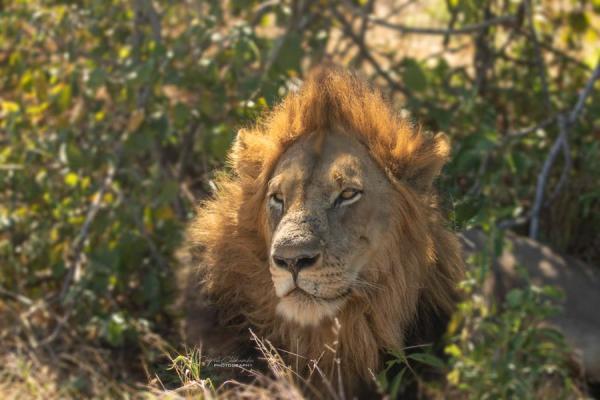 Lion by Chikamba
