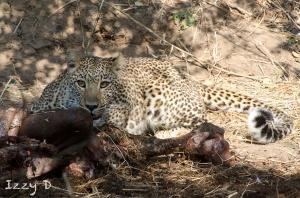 LeopardandlionsIzzy8.122948.jpg