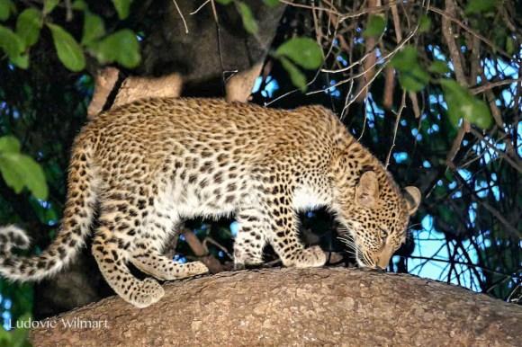 Leopardcubludo.185022.jpg