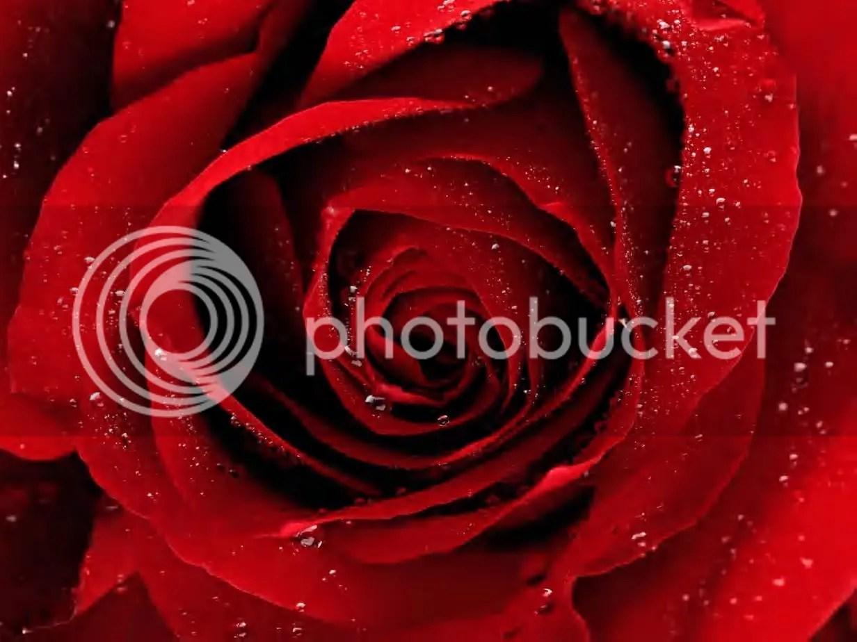 https://i2.wp.com/i5.photobucket.com/albums/y199/antihero496/A-Red-Rose-For-You.jpg
