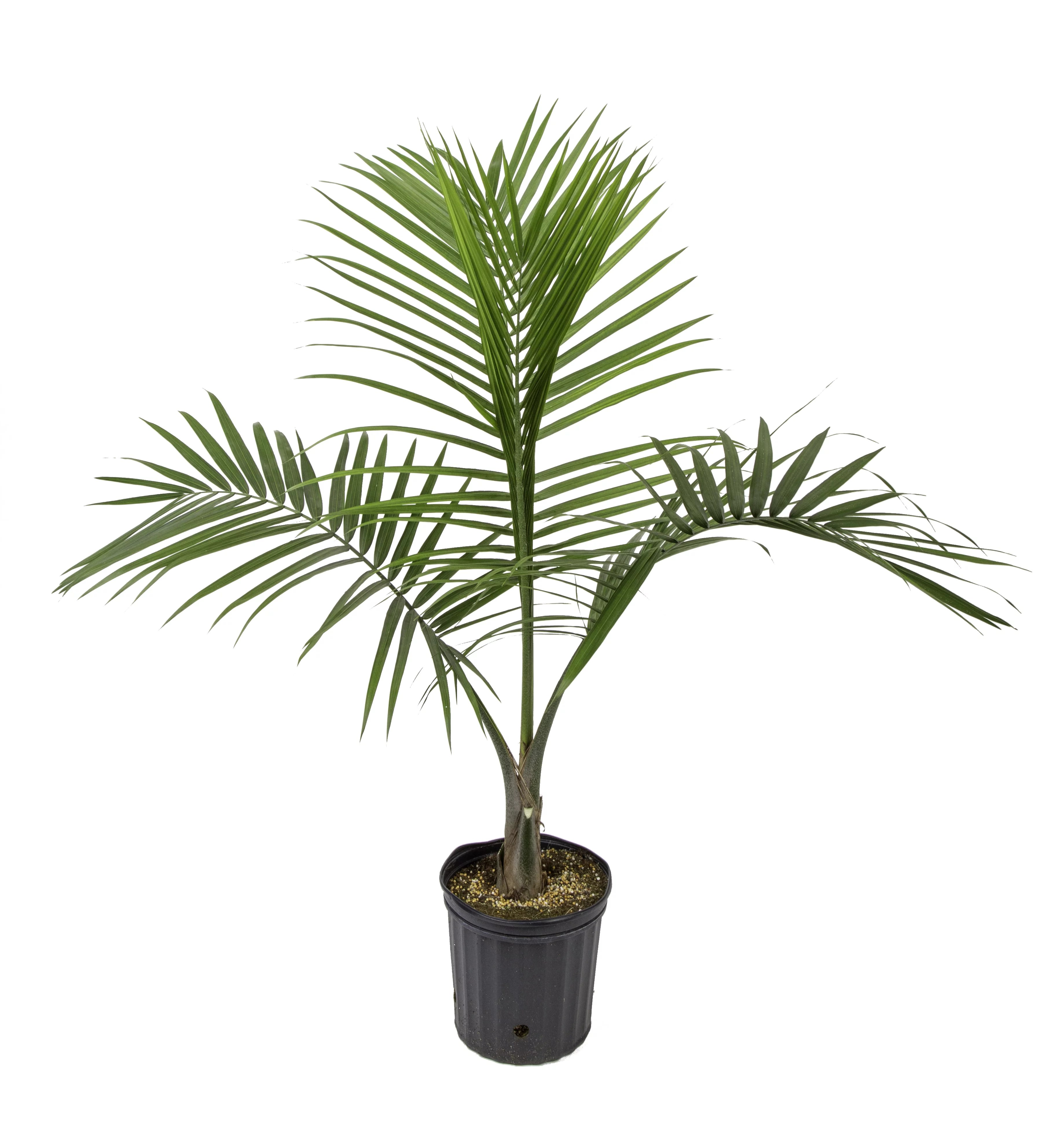 costa farms live indoor 3ft tall green majesty palm tree indirect sunlight plant in 10in grower pot walmart com