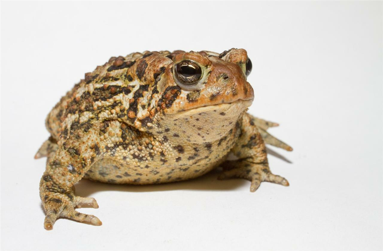 Cool Toad Frog Amphibian Warts Prince Education 12 Inch By