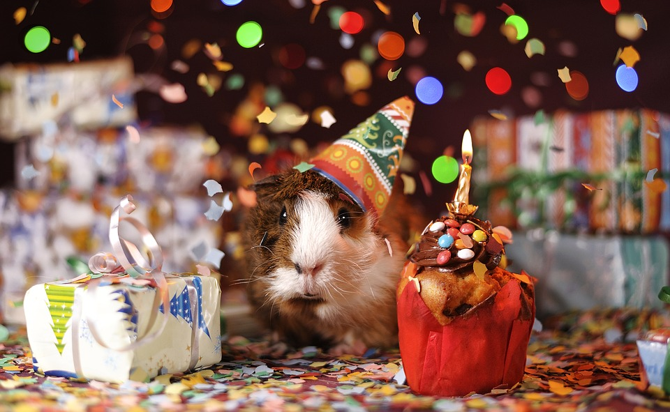 Guinea Pig Animal Domestic Happy Birthday Guinea 20 Inch By 30 Inch Laminated Poster With Bright Colors And Vivid Imagery Fits Perfectly In Many Attractive Frames Walmart Com Walmart Com