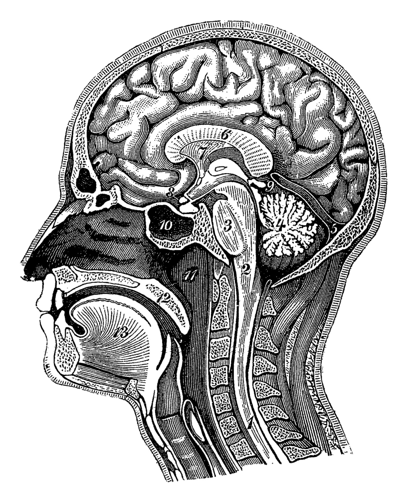 head and brain anatomy poster print by science source