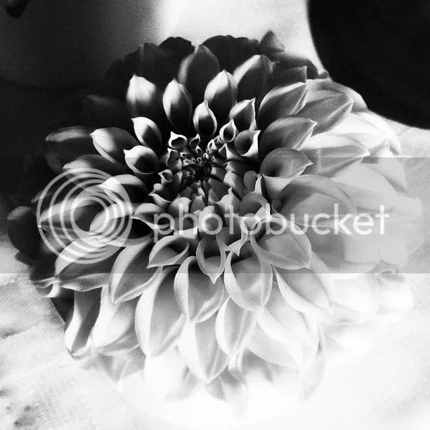 Black and White Dahlia Close-up