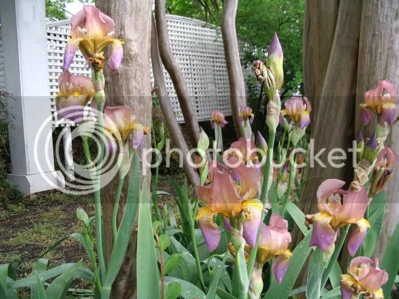 Irises at Chestnut Square