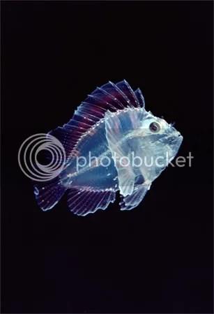translucent leaf scorpionfish newbe Criaturas inacreditáveis do fundo do mar   parte 2   Curiosidades