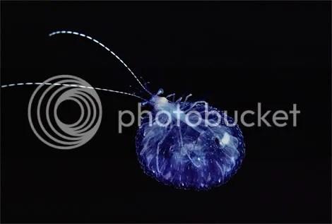 translucent shrimp newbert 1145419  Criaturas inacreditáveis do fundo do mar   parte 2   Curiosidades