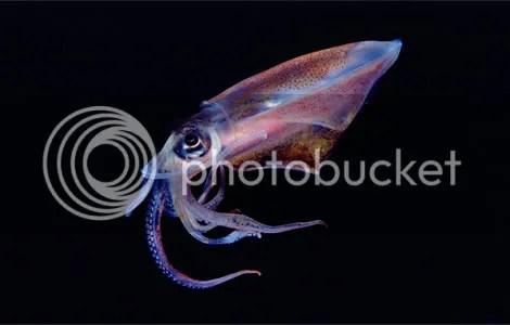 translucent squid newbert 1145416 g Criaturas inacreditáveis do fundo do mar   parte 2   Curiosidades