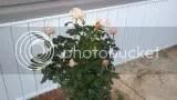 Davids roses photo photobucket-13069-1369530073445_zps63a445df.jpg