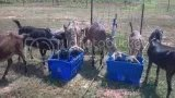 Remember everybody and everything needs cool fresh water. Its hot out there. Me I prefer a glass of cold milk goat of course or a big glass of sweet tea. Yall come back now ya hear. Lol