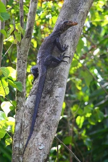 Torch monitor lizard